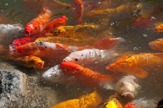 Рыбки для пруда