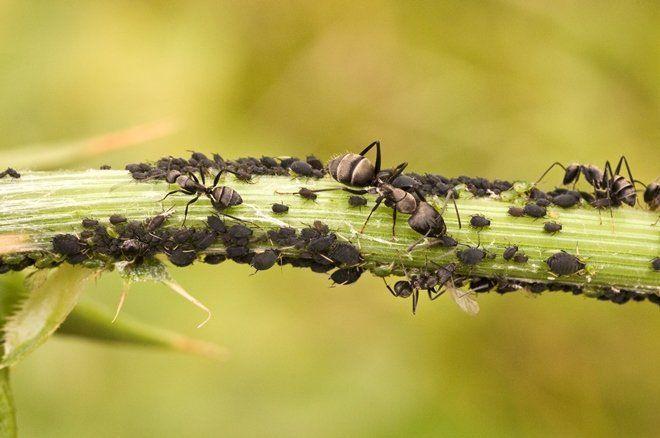 Способы борьбы с муравьями на огороде или в саду Садовод (Усадьба)