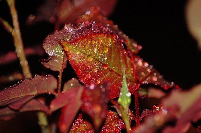 Розы как поливать