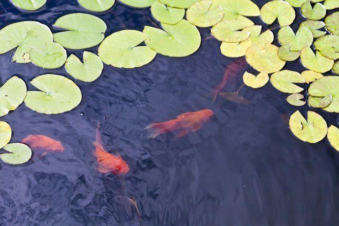 Одной рыбе до 10 см нужно приблизительно 50 л воды