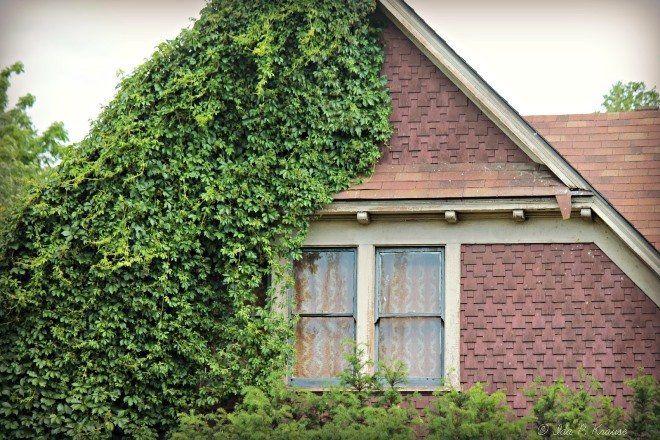 Растение самостоятельно карабкается по фасаду