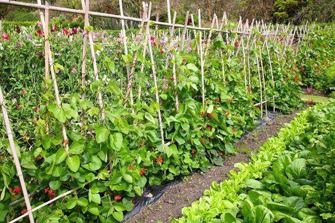 Растения на шпалерах - разновидность озеленения