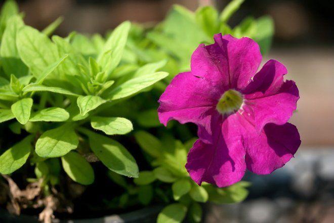 Цветение петунии