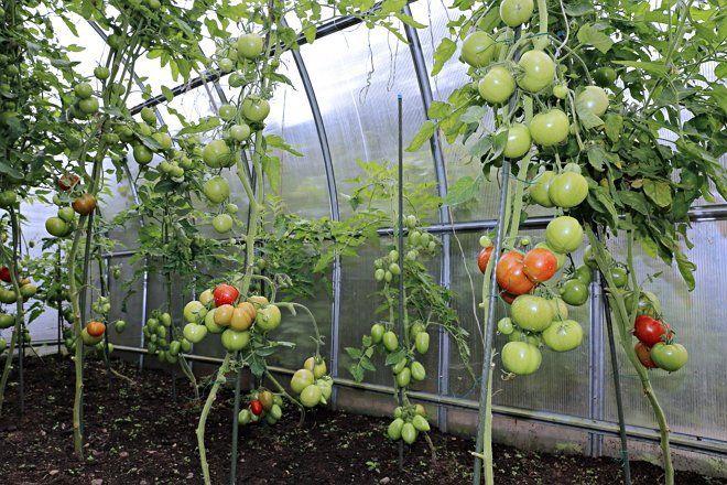 Высокорослые томаты в парнике