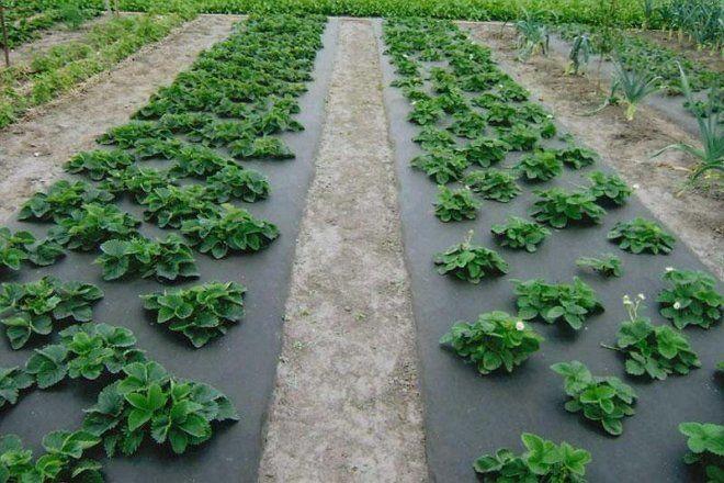 Горчица как удобрение и от сорняков в огороде, белая 7