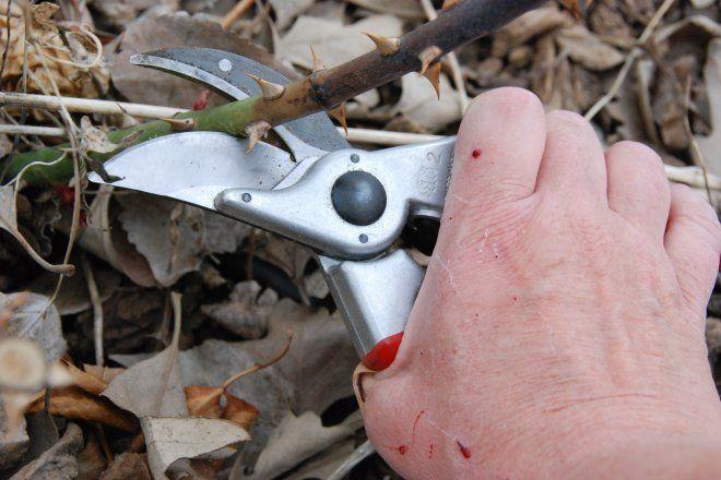 Как правильно обрезать побеги розы