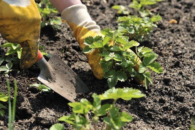 Можно ли рассаживать клубнику в августе