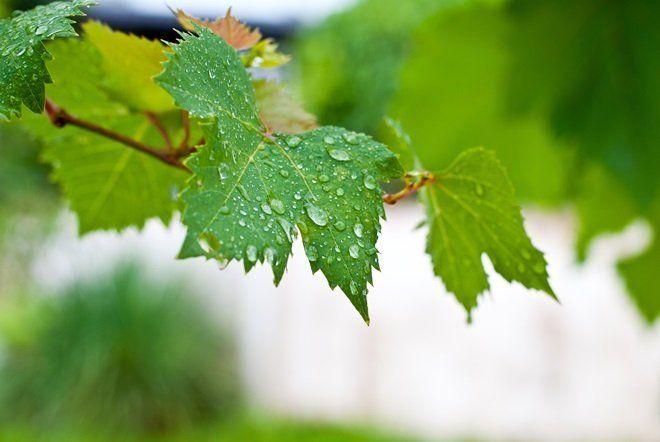 Полив винограда проводить нужно только до середины июля
