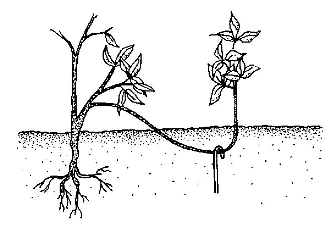 Принцип укоренения побега смородины при размножении отводками