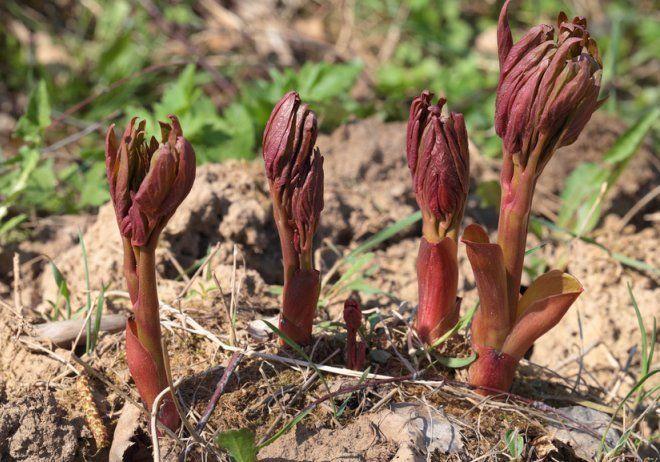 молодые побеги пионов весной