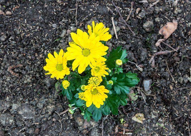 Зризантема желтая