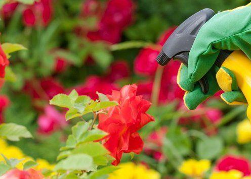 вредители на розах