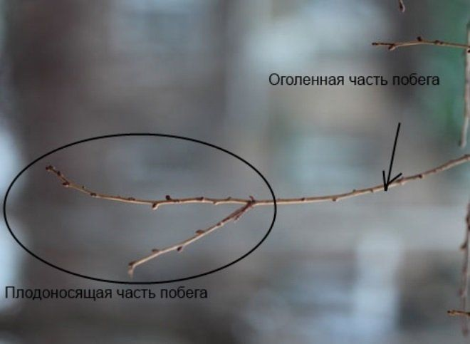 плодоносящие части вишни
