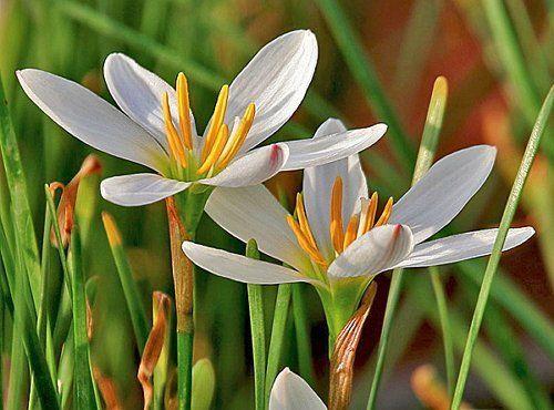 Цветки зефирантеса