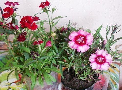 Гвоздика в домашнем цветнике