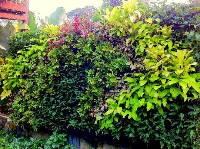 Сплошная зеленая стена закрывает от соседей