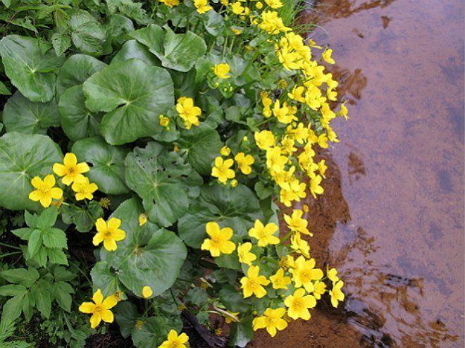Посадите калужницу в болотистой зоне, чтобы сгладить переход между прудом и берегом