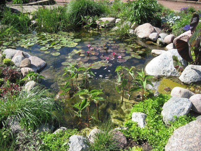 На болотах растут красивые и редкие растения - кувшинки, кубышки и т.д.