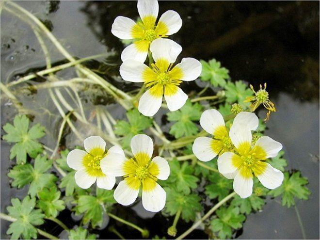 Лютик водяной - яркий представитель растений-оксигенераторов
