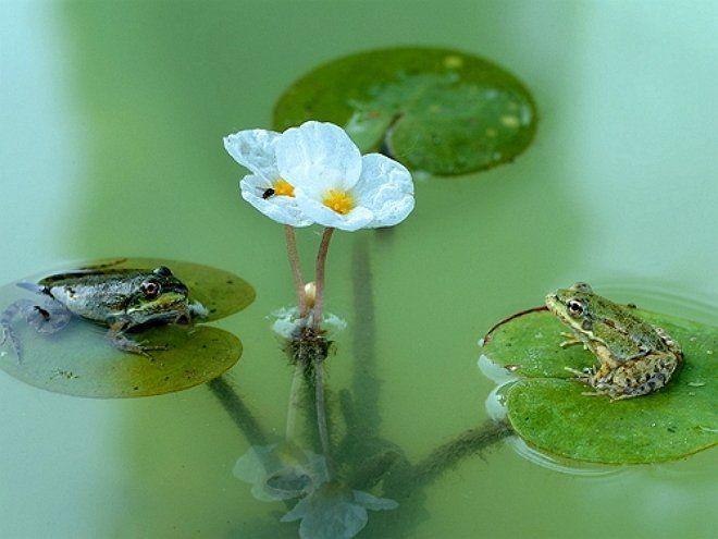 Водокрас - плавающе растение с симпатичными белыми цветочками