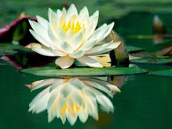 Глубоководные растения - главное украшение пруда
