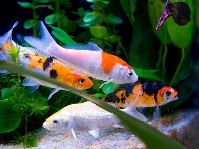 Для теплолюбивых рыб необходимо заранее подготовить аквариум