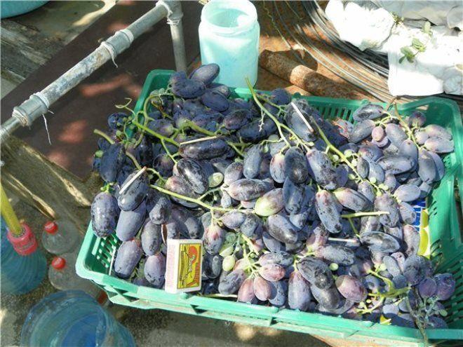 Своевременно удаляйте гнилые ягоды и избегайте резких запахов по соседству с виноградом