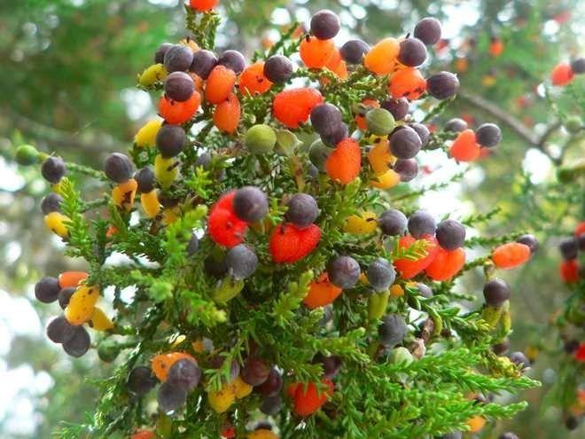 Дерево-гибрид
