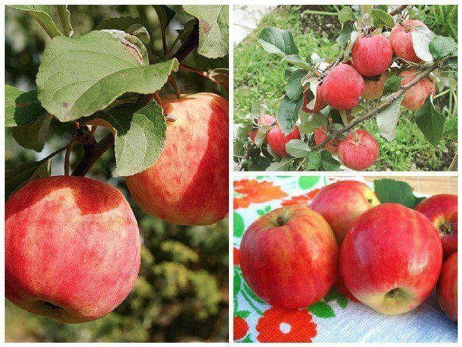 Сорт красных яблок ранних сортов