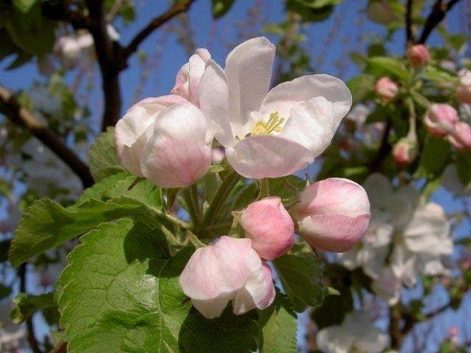 Яблоня Замечательная