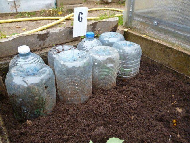 Укоренение черенков роз под пластиковыми бутылками