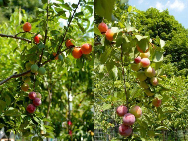 Дерево с фруктами
