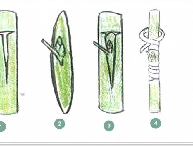 Прививка лимона почкой: 1 – Т-образный разрез на подвое, 2 –щиток с почкой, 3 – место прививки, 4 – обвязка места прививки