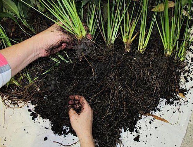 Во время пересадки некоторые растения можно размножить делением