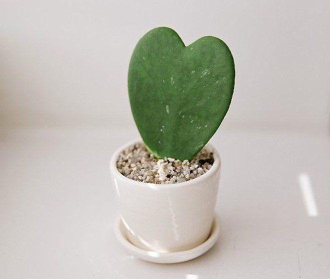 кактус в форме сердечка