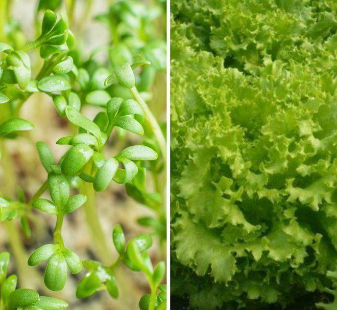 Кресс-салат и листовой салат