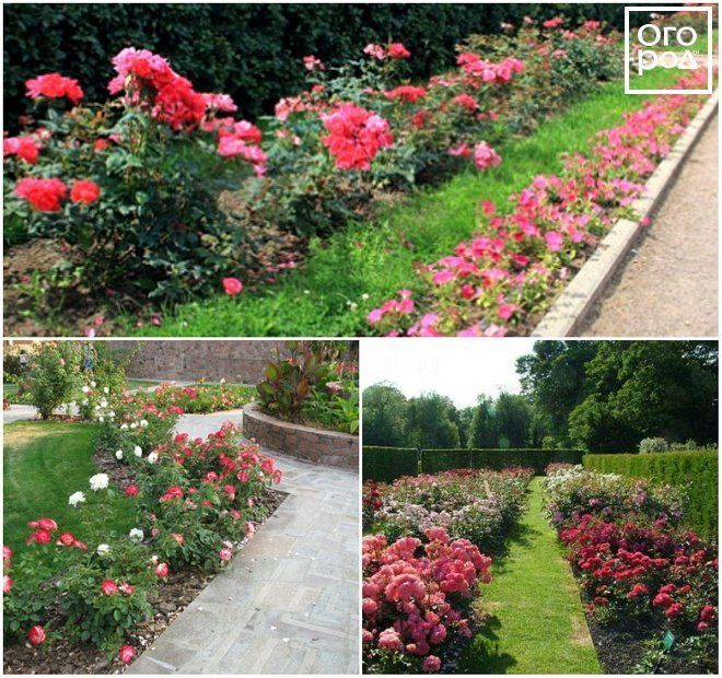 Рабатки из роз