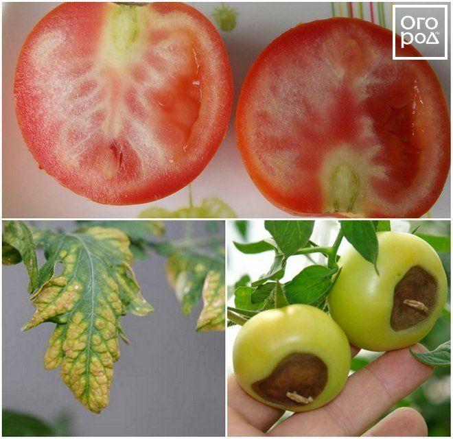 почему есть белые прожилки в помидорах потребуется
