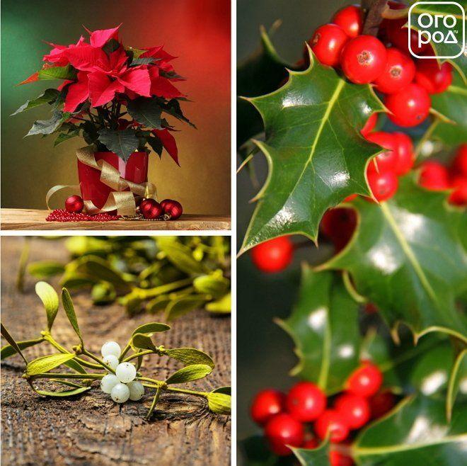 Растения Рождества