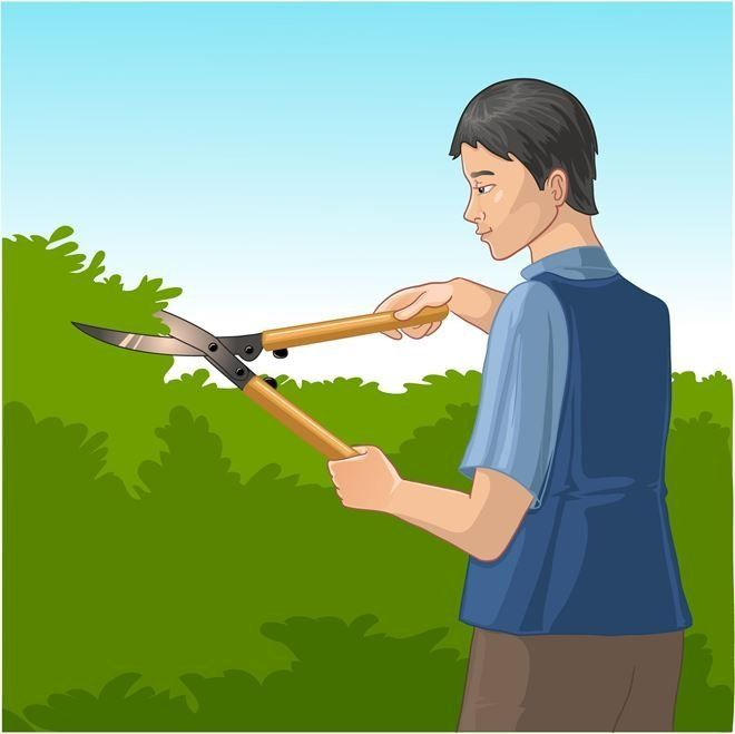 Срез делайте под наклоном, оставляя около 5 мм над верхней почкой.