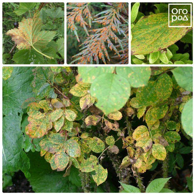 ржавчина растений