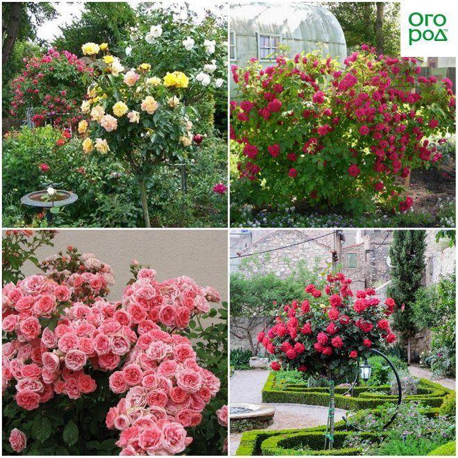 Розы в солитерных посадках