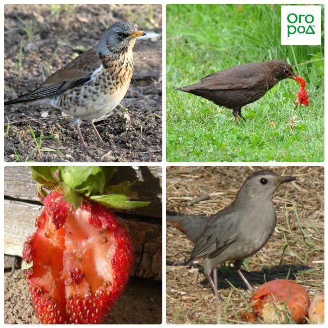 птицы едят клубнику