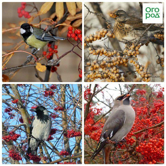 рябина и птицы
