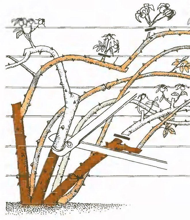 Схема обрезки плетистой розы