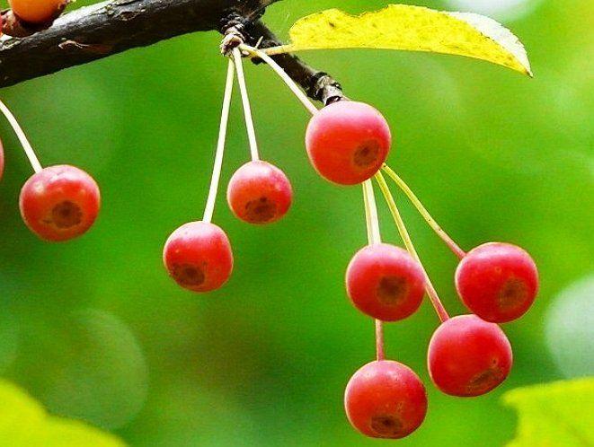 Сибирская декоративная яблоня