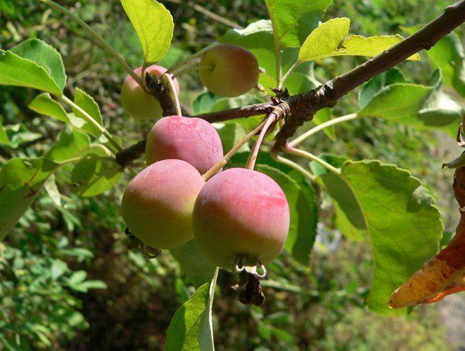 Яблоня сливовистая