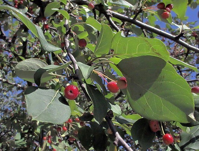 Маньчжурская яблоня