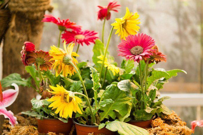 Окраска цветков герберы может быть самой разнообразной. Не бывает только синих гербер