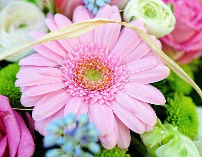 Герберы хороши в букете, но в цветочном горшке они будут радовать гораздо дольше